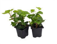 "Irish Ivy - Hedera English Ivy - 2 Pack 3"" Pots - Easy to Grow, Indoors"