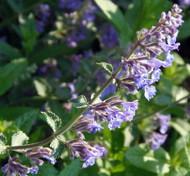 """Catnip Plant - Nepeta - INSIDE OR OUTSIDE - 3"""" Pot"""