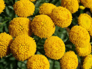 Tansy Perennial Herb- 25 Plants - Tanacetum - Natural Mosquito/Insect Repellant