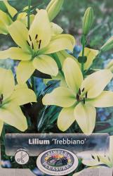Trebbiano L.A. Hybrid Lily - 3 Bulbs 14/16cm - Unique Lime Green!