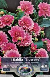 Bluesette Dwarf Dahlia - #1 Size Clump - Vivid Lilac Flowers!