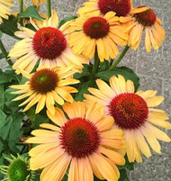 "Butterfly™ Apricot Rainbow Marcella Coneflower - Echinacea - Fragrant - 3"" Pot"