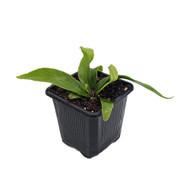 "Hurricane Bird's Nest Fern - 3"" Pot - Asplenium nidus Campio - Easy House Plant"