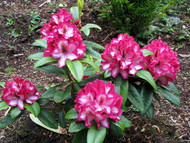 "Pomegranate Splash Rhododendron - A WOW Color - 4"" Pot"