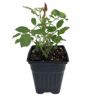 "Baby Elizabeth Miniature Rose Bush - Fragrant/Hardy - 4"" Pot"