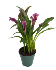 "Purple Calla Lily Live Plant - 4.5"" Pot - Grape Jelly Purple"