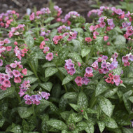 Pretty in Pink Lungwort Perennial - Pulmonaria - Gallon Pot - Loves The Shade