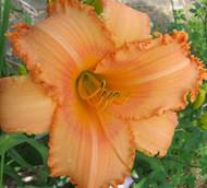 Tangerine Twist Daylily - Hemerocallis - Ruffled Blooms - Gallon Pot