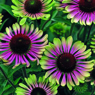 Green Twister Coneflower Perennial - Echinacea - Live Plant - Gallon Pot