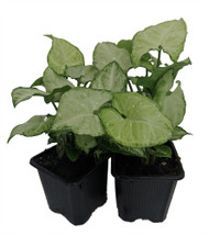 "White Butterfly Arrowhead Plant - Syngonium - Nepthytis - 3"" Pots 2 Pack"