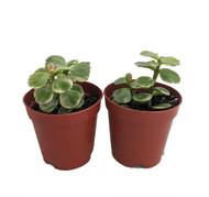 """Spekboom Miracle Plant - Variegated Mini Jade - Portulacaria afra-2 Pack 2"""" Pots"""