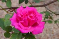 "Zephirine Drouhin Rose - Climbing,Thornless,Very Fragrant - 4"" Pot"