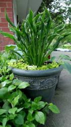 Praying Hands Hosta - NEW! - UNIQUE! - Live Plant - Quart Pot