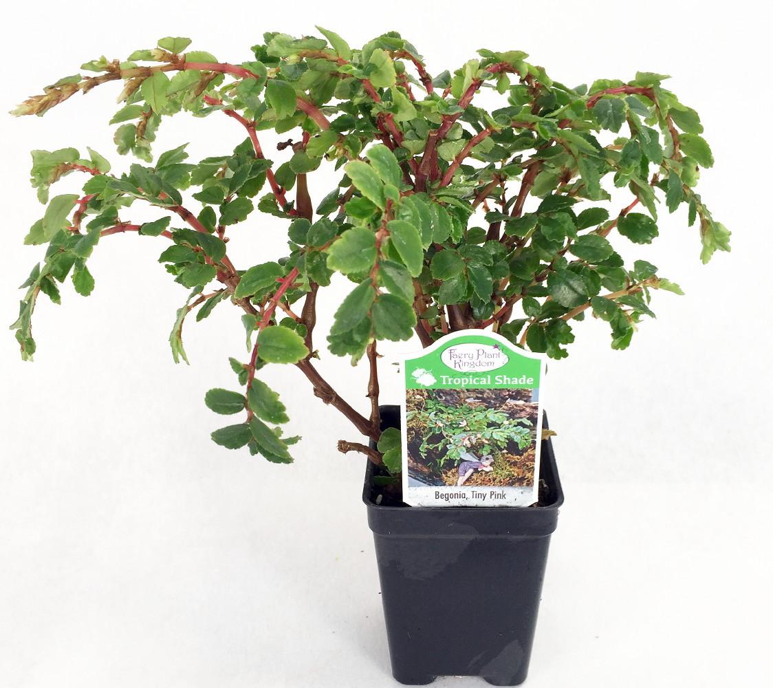 Tiny Pink Begonia Plant 2 5 Pot Terrarium Fairy Garden House