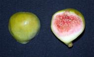 """Conadria Yellow Edible Fig Plant - Sweet - 2.5""""  Pot"""