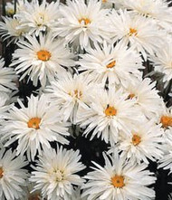https://d3d71ba2asa5oz.cloudfront.net/12001418/images/crazy%20daisy%20perennial.jpg?refresh