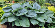Shadowland Empress Wu Hosta - Shade Lover - Gallon Pot - Proven Winners