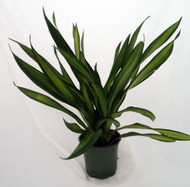 "Riki Madagascar Dragon Tree - Dracaena - 6"" Pot - Easy to Grow House Plant"