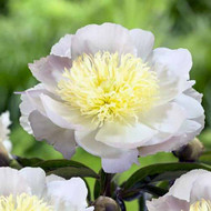 """Primevere Peony - Extremely Large Soft Pink Flowers - 4"""" Pot"""