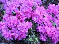 http://d3d71ba2asa5oz.cloudfront.net/12001418/images/rhododendronminnetonka1.jpg?refresh