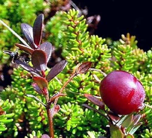American Cranberry Bush Pictures