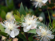 "Biblical Myrtle Plant - Myrtus communis - 4"" Pot - Ancient Herb"