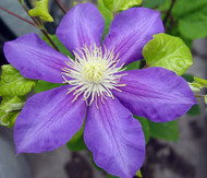 https://d3d71ba2asa5oz.cloudfront.net/12001418/images/general%20sikorsky%20clematis%20vine.jpg?refresh