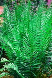 Hardy Tokyo Wood Fern - Dryopteris tokyoensis - Quart Pot