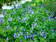 Blue Ice Amsonia Perennial - NEW! -  Quart Pot