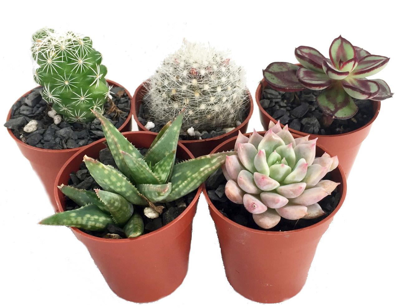 Succulent Terrarium Fairy Garden Plants 5 Different Plants 1 75