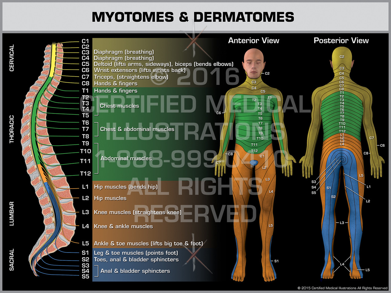 Myotomes Dermatomes Print Quality Instant Download