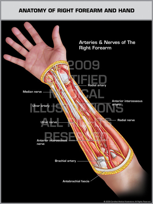 Anatomy of Right Forearm & Hand