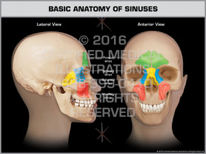 Exhibit of Basic Anatomy of Sinuses - Print Quality Instant Download