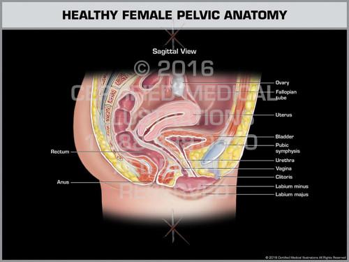 Exhibit of Healthy Female Pelvic Anatomy - Print Quality Instant Download