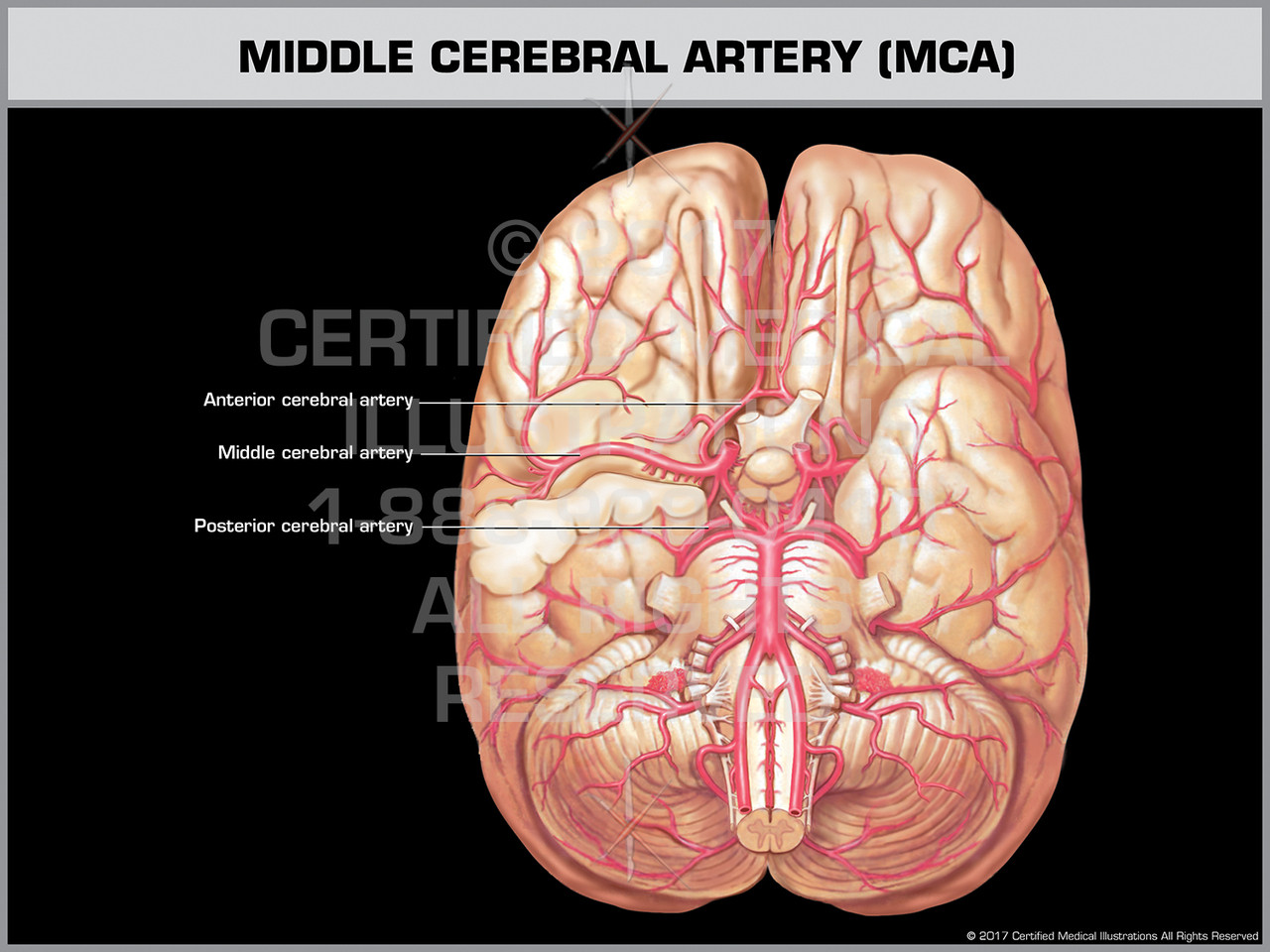 Middle Cerebral Artery Mca Print Quality Instant Download
