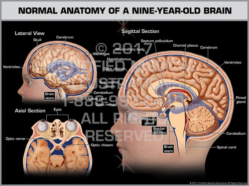 Exhibit of Normal Anatomy of a Nine-Year-Old Brain - Print Quality Instant Download