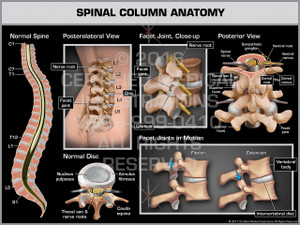 Spinal Column Anatomy - Print Quality Instant Download