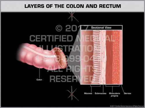 Layers of the Colon and Rectum- Print Quality Instant Download