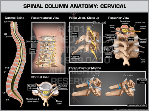 Exhibit of Spinal Column Anatomy: Cervical- Print Quality Instant Download