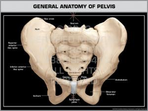 General Anatomy of Pelvis