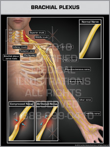 Brachial Plexus - Print Quality Instant Download
