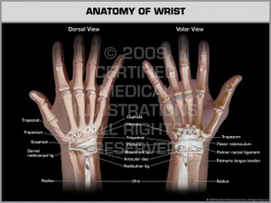 Exhibit of Anatomy of Wrist.