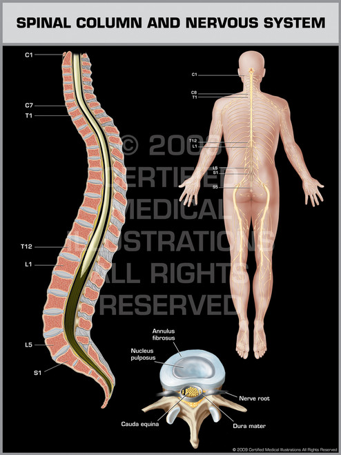 Exhibit of Spinal Column & Nervous System Male.