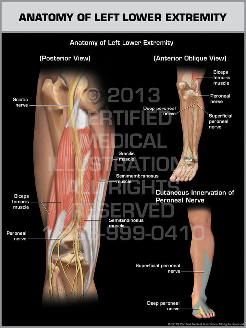 Exhibit of Anatomy of Left Lower Extremity.