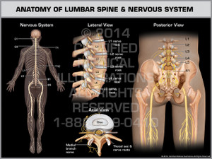 Exhibit of Anatomy of Lumbar Spine & Nervous System.