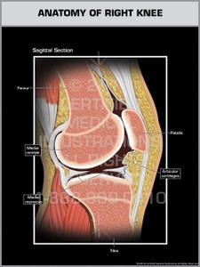 Sagittal Anatomy of Right Knee