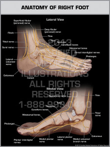 Exhibit of Anatomy of Right Foot.