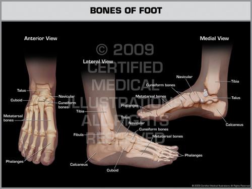 Exhibit of Bones of Foot.