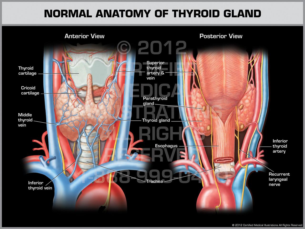 Normal Anatomy Of Thyroid Gland