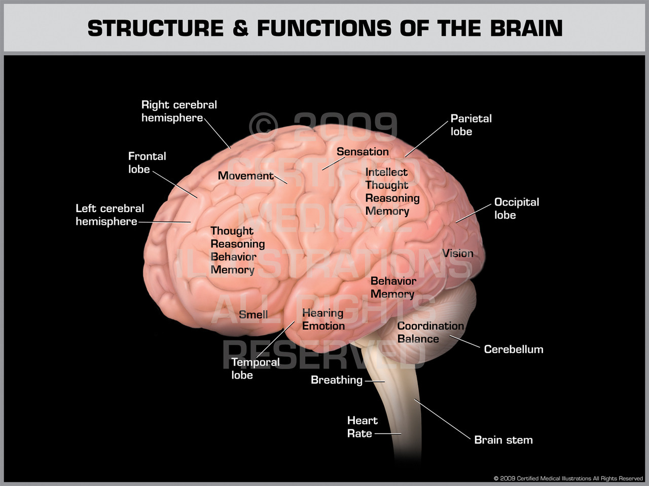 Structure & Functions of the Brain